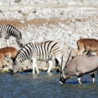 ETOSHA: FAUNA SALVAJE EN NAMIBIA